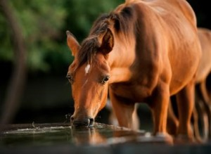 Horses need a lot of water