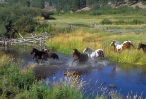 A herd of horses running through a pond on a horse property
