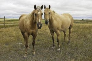 The American Quarter Horse is North America's Most Popular Horse Breed