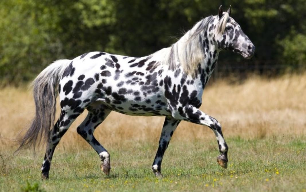 Things You Did Not Know About The Appaloosa Welcome To Horse Properties Blog